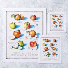 Cook's Illustrated Unframed Print: New England Heirloom Apples